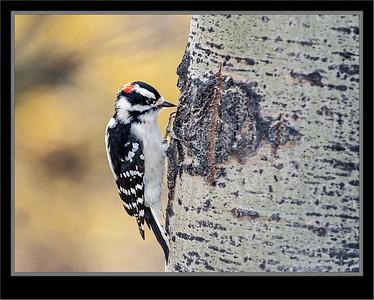 Woodpeckers, Sapsuckers, Flickers