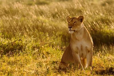 Lions of Ndutu