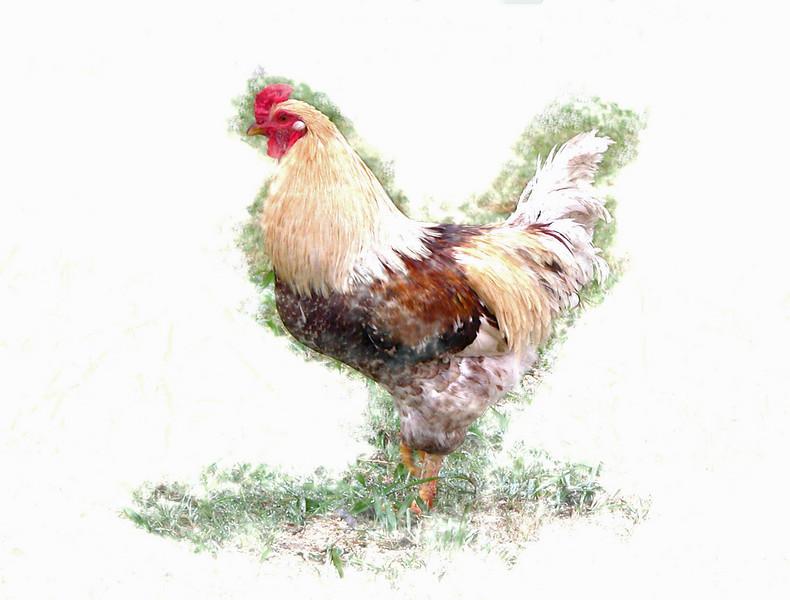 Janice's 2009 070 rooster 1AE.jpg