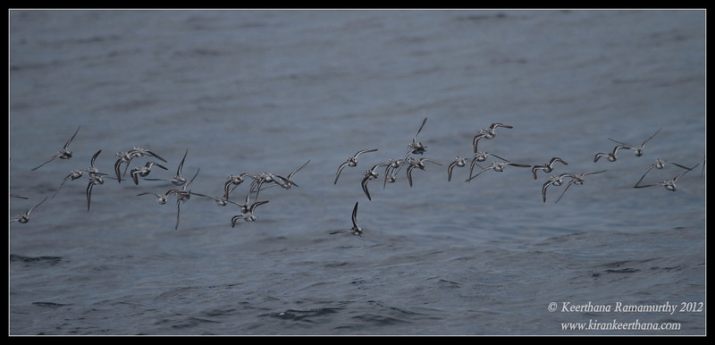 Red-necked Phalaropes in flight, Whale Watching trip, San Diego County, California, September 2012