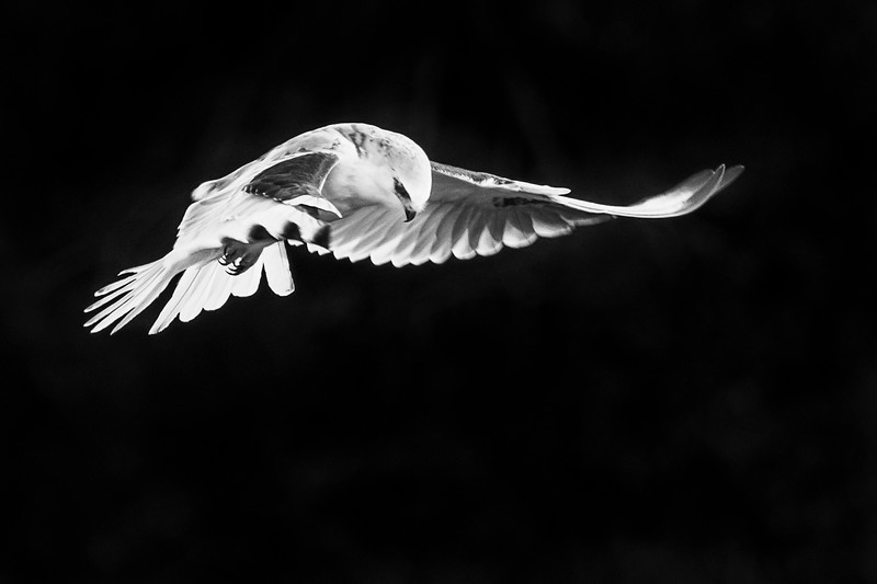 White-tailed Kite in Black and White