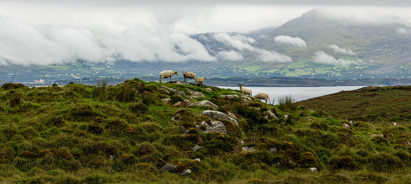 Sheep's Heads