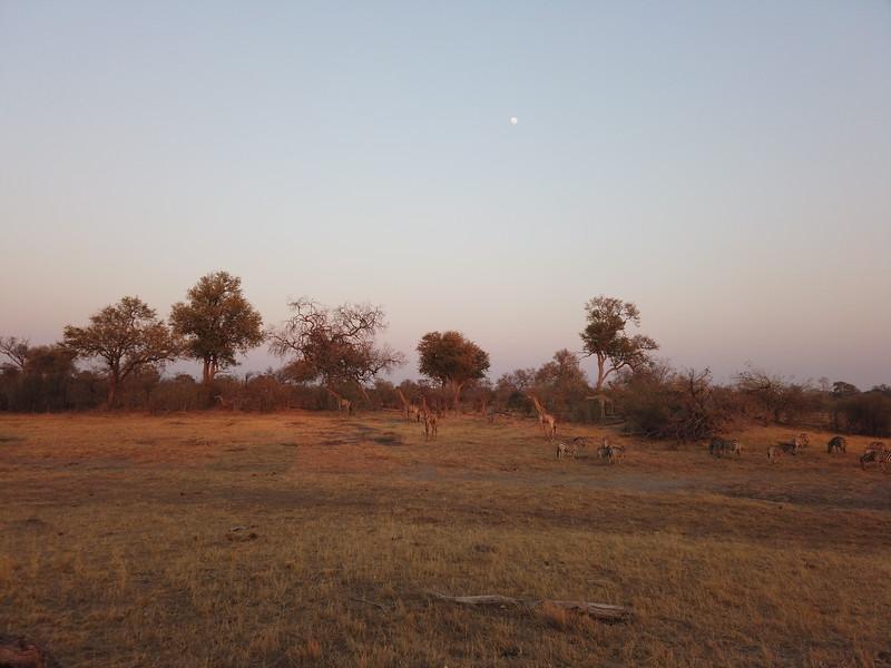 Zebras and Giraffes, Selinda Explorer camp, Botswana