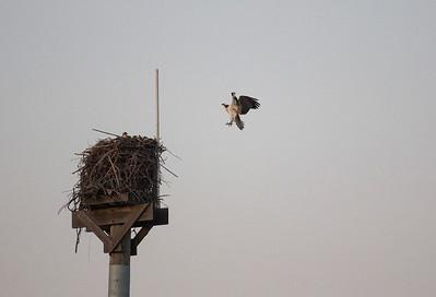 Del Mar Osprey Nest