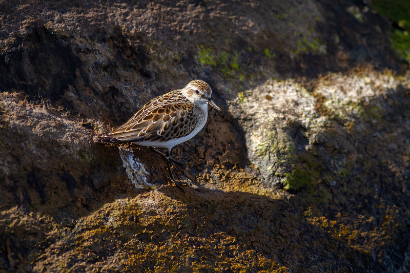 Semipalmated Sandpiper Wisconsin Point Lake Superior Superior Wisconsin IMG_1121.jpg