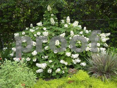oakleaf-hydrangeas-easily-grown-in-shady-areas