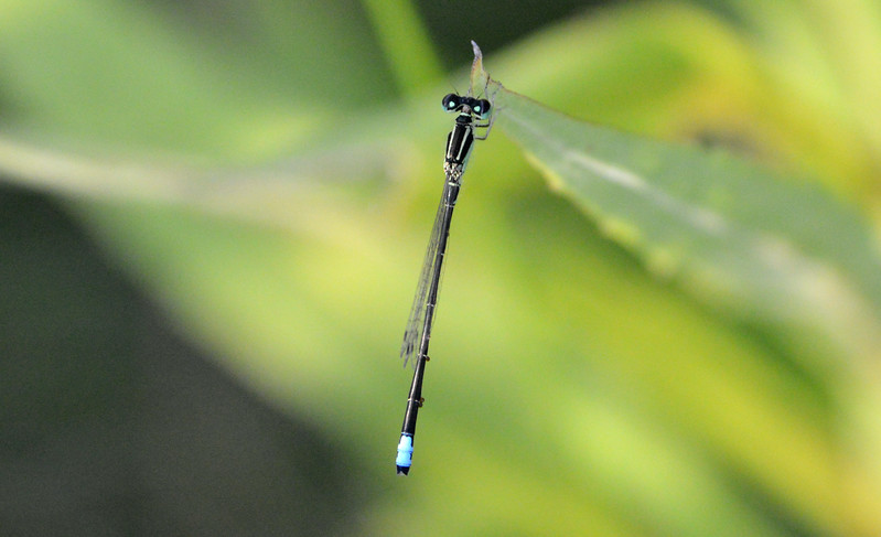blue-black-damselfly.jpg