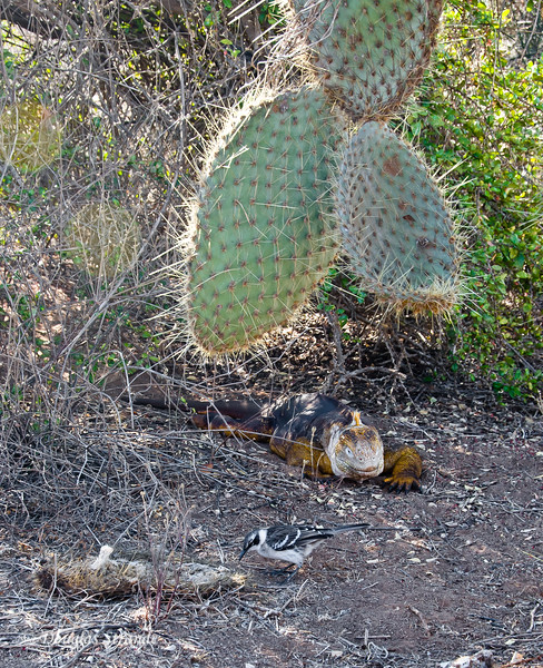 A mockingbird and land iguana under an opuntia cactus