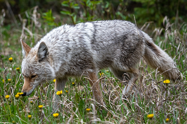 6-21-20 Coyote