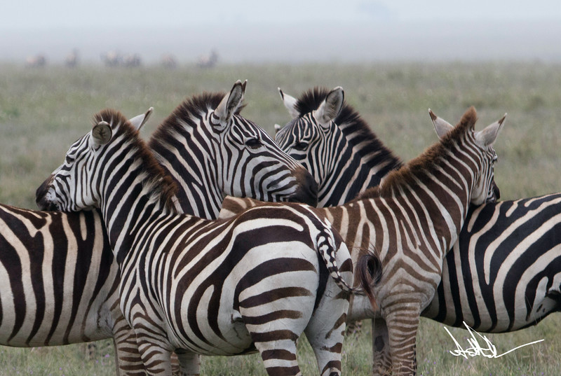 ZebraS-21.jpg