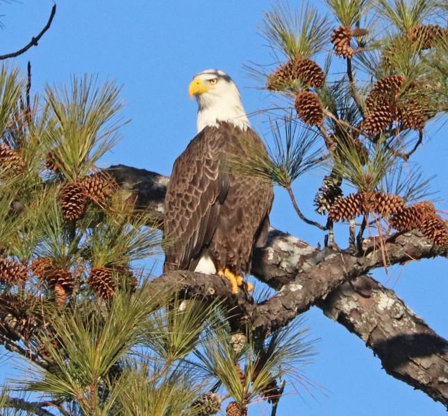 Bald eagle 23