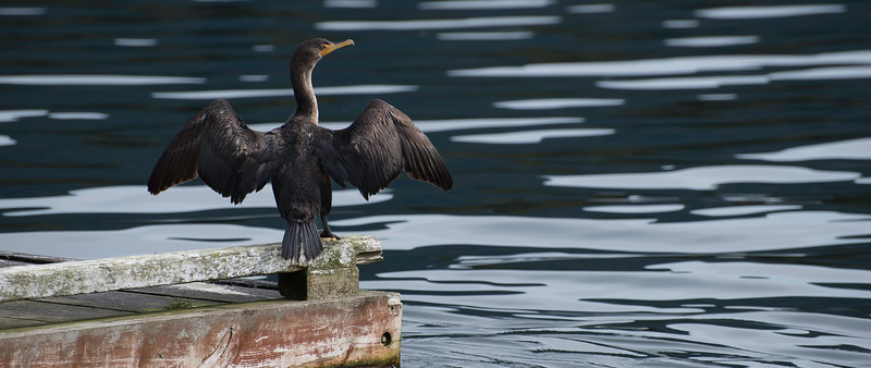 Common_Cormorant.jpg