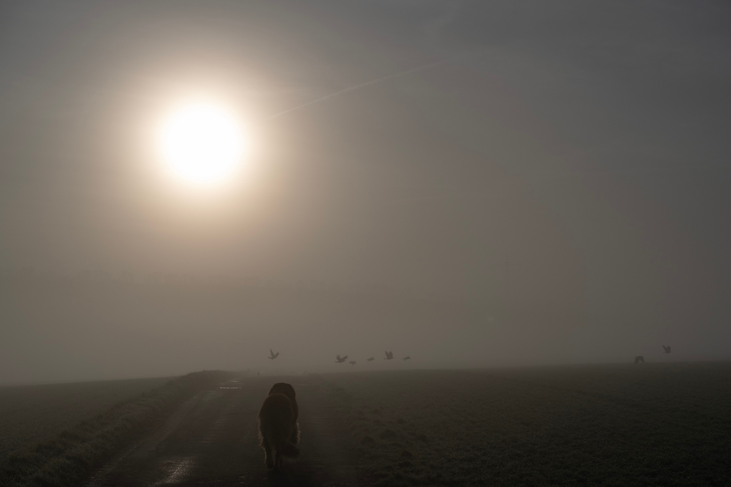 A large dog running towards a flock of crows taking flight lit from behind by the sun behind thick fog