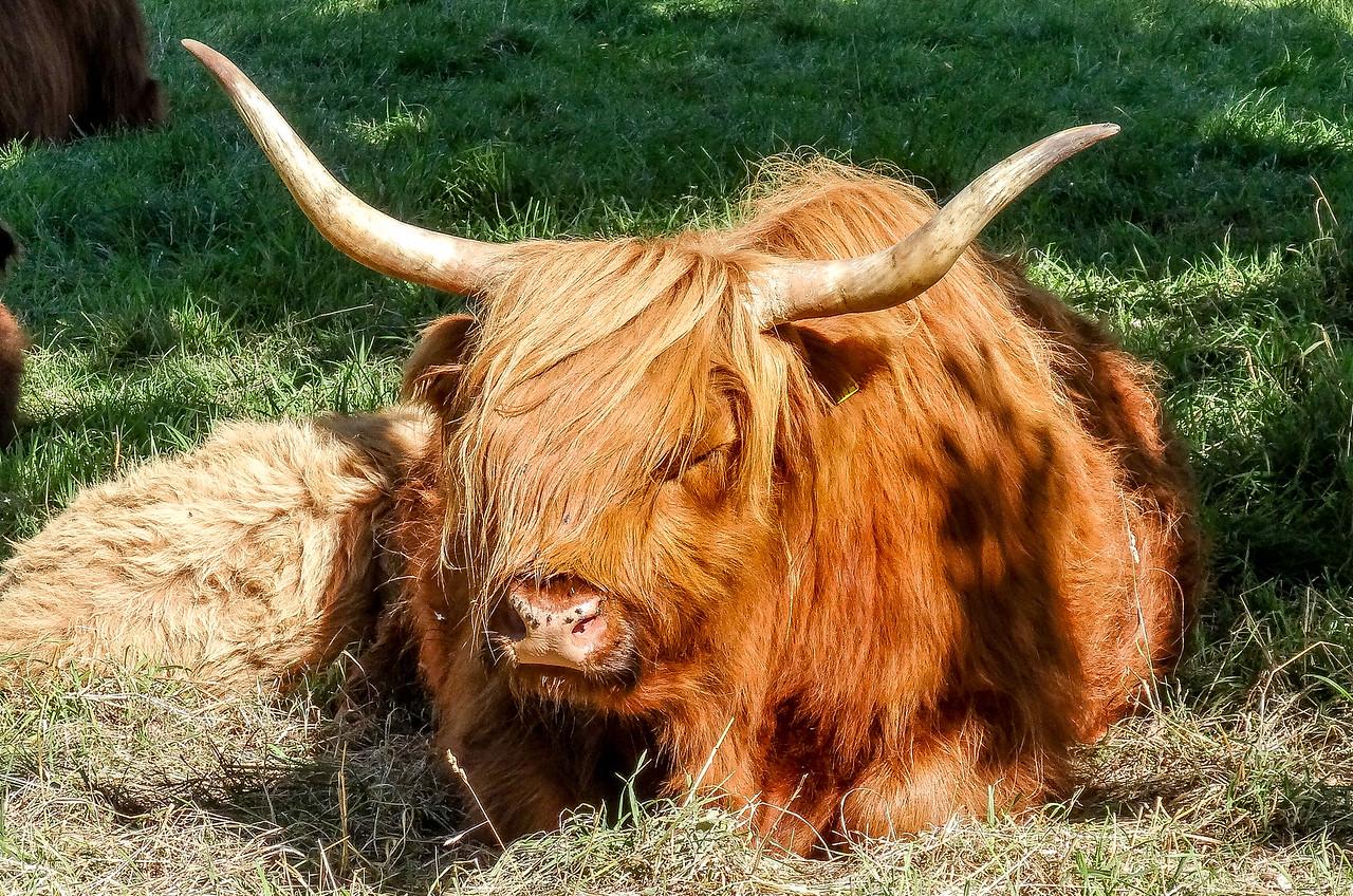 Highland Cattle, Scotland