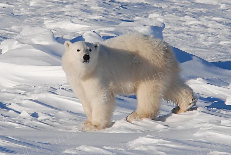 #540  Polar bear cub