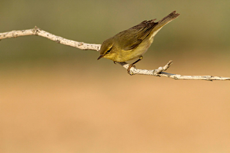 Willow Warbler (Phylloscopus trochilus) עלוית אפורה