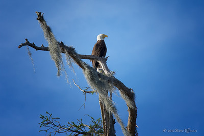 Bald Eagles of Louisiana