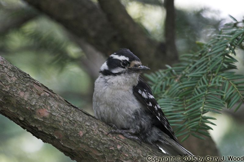 Saturday in the Park: Downy Woodpecker