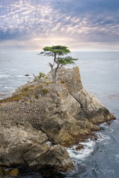 The Lone Cypress II