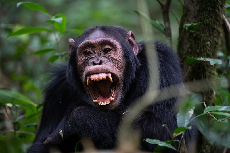 Uganda_T_Chimps-598.jpg