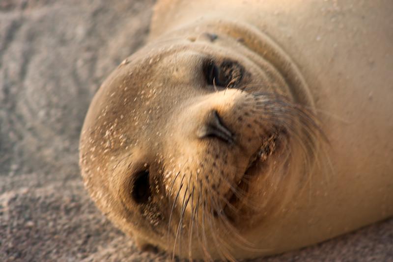 Journey into Baltra Island in the Galapagos Archipelago 36 Sea Lion Gaze