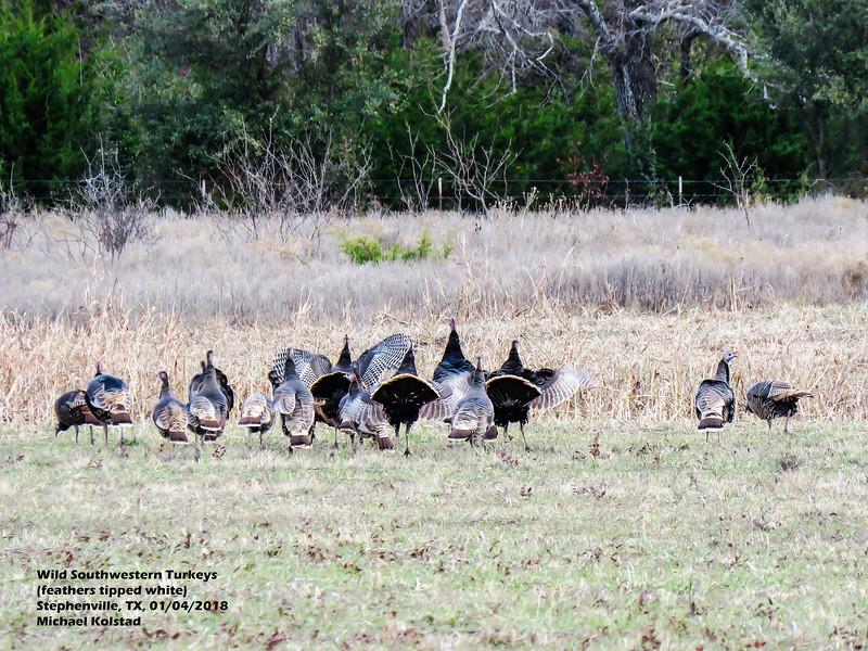 IMG_9082 3T Wild SW Turkeys white tip Stephenville TX 104 1623.jpg