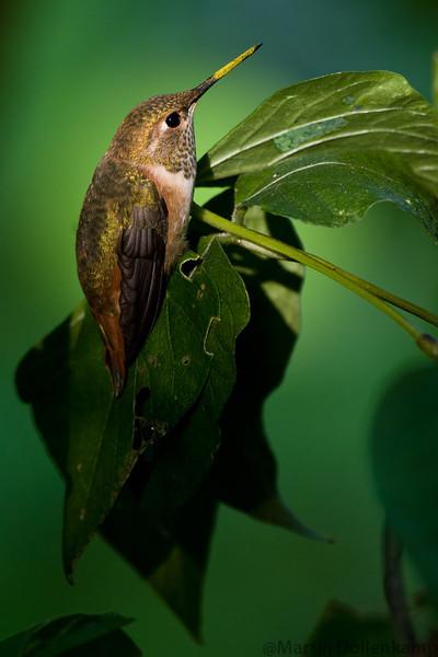 Rufous Hummingbird with pollen on bill