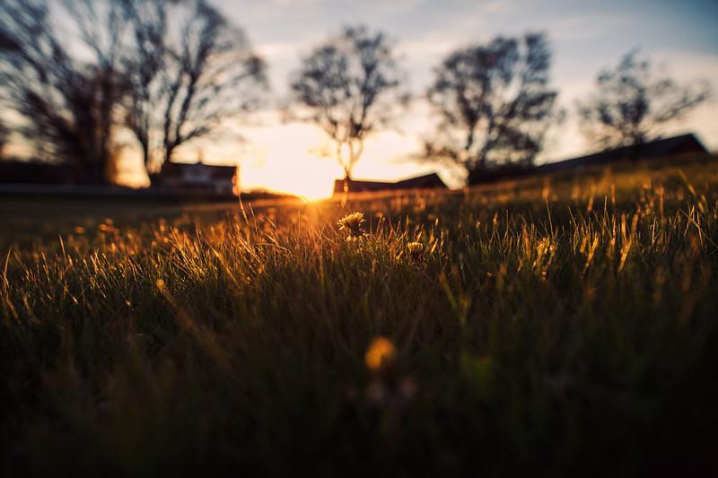 sunset grass flowers farm sweden.jpg