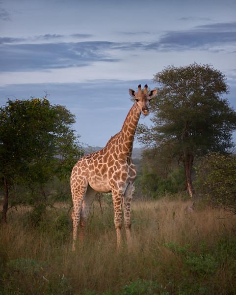 Mark-Fletcher-Solo Giraffe.jpg