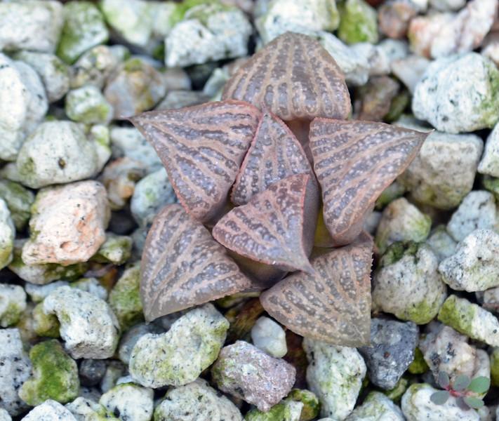 Haworthia magnifica var splendens