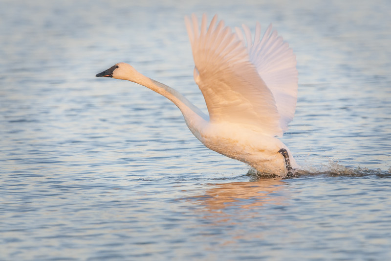 Trumpeter Swan Take Off Two.jpg