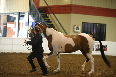 3.HA/AA Geldings Florida Futurity $