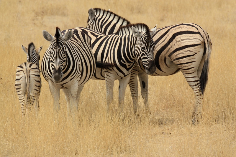 Zebra family group.jpg