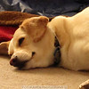 3-28-11 Comet is exhausted after a weekend with his doggie cousins. Time for a nap, an all day nap.