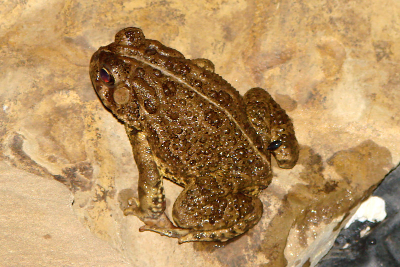 Woodhouse's Toad (Bufo woodhousii).  TX: Tarrant Co. (Duhons' Fort Worth yard), 27 April 2007.