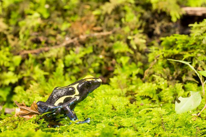 Dyeing Dart Frog,  Dendrobates tinctorius