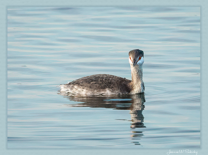 QN9A0509-Edit-EdithornedGREBE.jpg