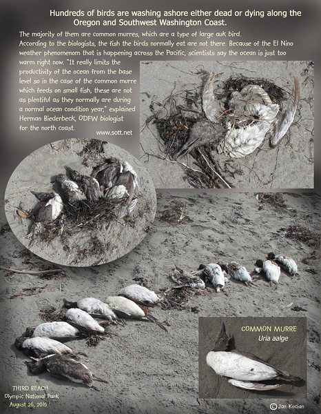 8.26.15 Third beach dead birds S .jpg