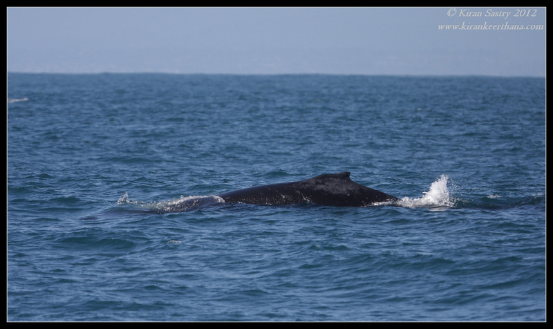 Humpback Whale dorsal fin, Whale watching trip, San Diego County, California, April 2012