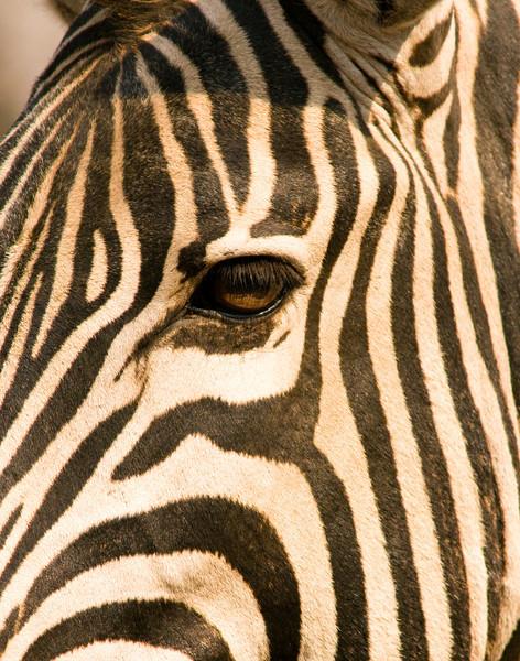 zebra (3).jpg