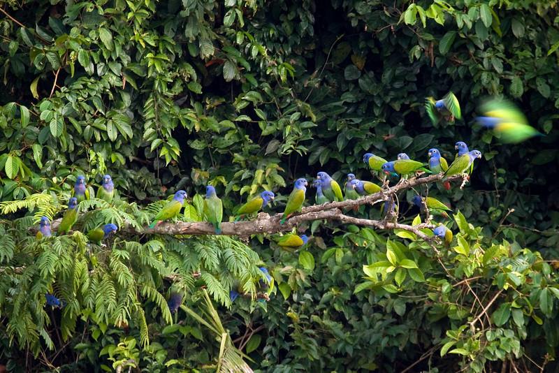 Blue-headed Parrots (1) at Macaw Lick near Manu Wildlife Center, Peru (2008-07-10).psd