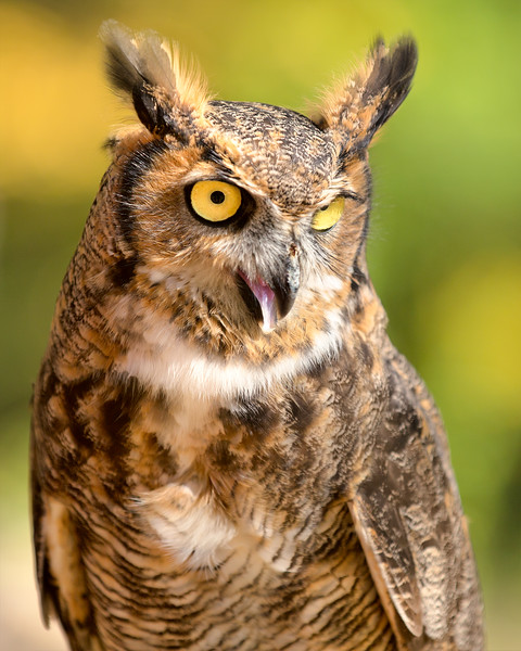 "Great Horned Owl  ""Chestnut"""
