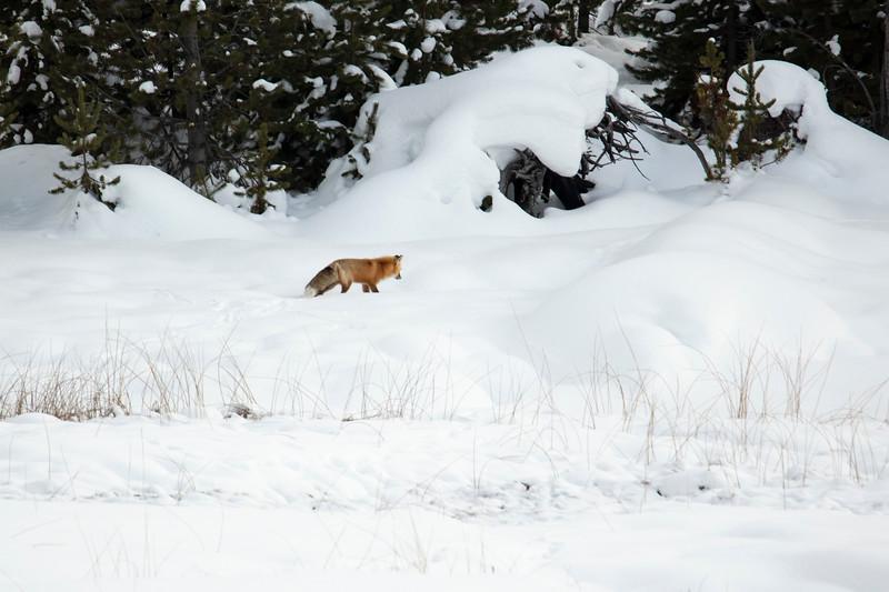 387A9787 3rd Red Fox at Hayden.jpg