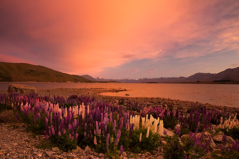 lake tekapo sunrise lupines large sharpened.jpg