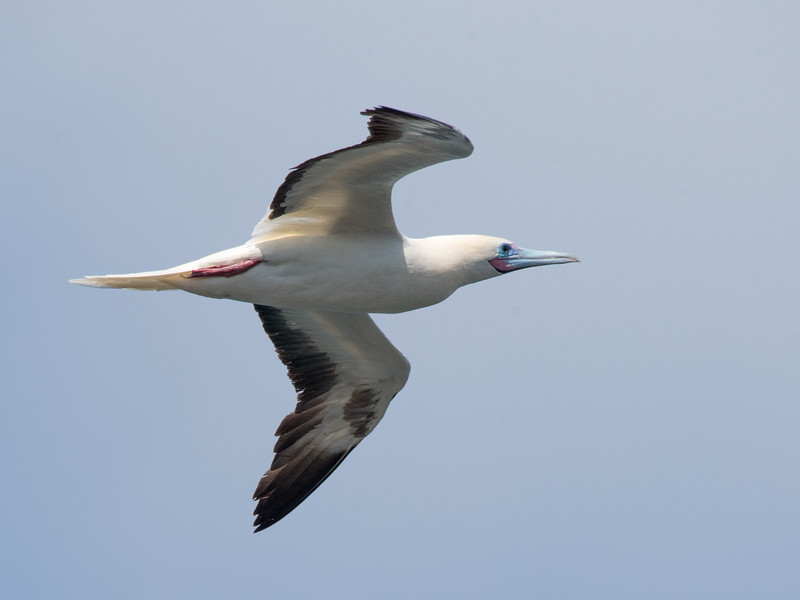 Red-footed Booby flying over Kilauea Point
