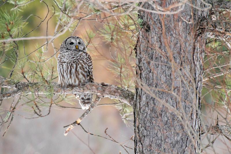 Barred Owl hunting Yellow-bellied Bog Peary Road Sax-Zim Bog MN IMG_0229.jpg