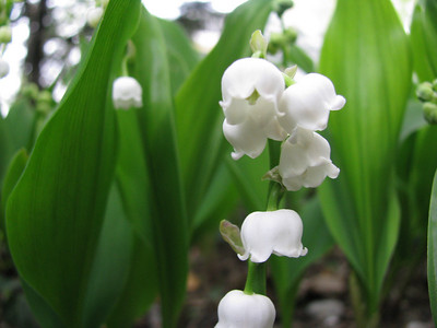 Lilly of the Valley, Englewood