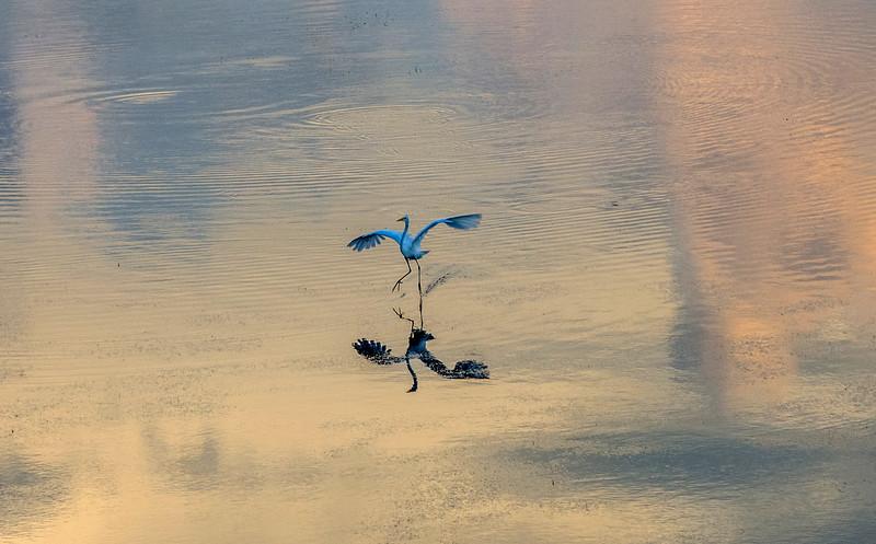 9_17_19 Great Blue Heron Dancing On The Water.jpg