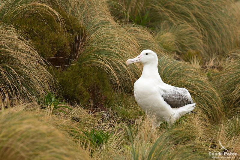 974-SouthernRoyalAlbatross-CampbellIsland,NZ-11-12-13-3.jpg