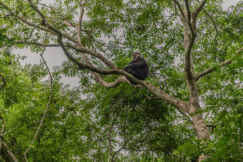 Uganda_T_Chimps-174.jpg